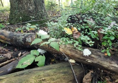 Cluster of Coral Tooth Fungus