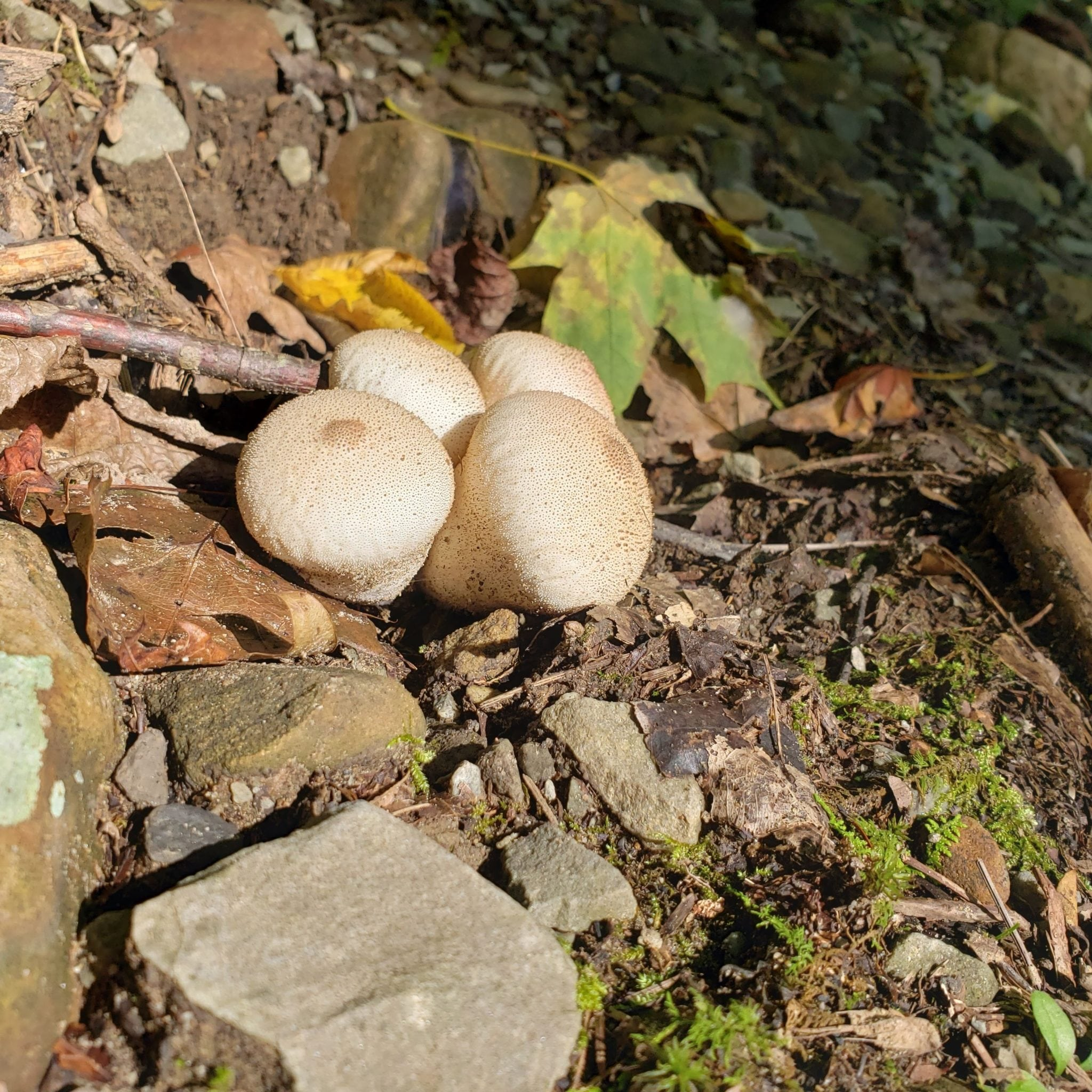 Puffballs in the woods